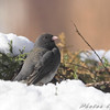 Dark-eyed Junco <br /> City of Bridgeton <br /> St. Louis County, Missouri <br /> 2008-02-02
