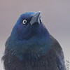 Common Grackle <br /> City of Bridgeton <br /> St. Louis County, Missouri <br /> 2008-02-11