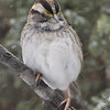 White-throated Sparrow <br /> City of Bridgeton <br /> St. Louis County, Missouri <br /> 2008-02-11