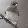 Dark-eyed Junco <br /> City of Bridgeton <br /> St. Louis County, Missouri <br /> 2008-02-11