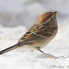 American Tree Sparrow <br /> City of Bridgeton <br /> St. Louis County, Missouri <br /> 2008-02-02