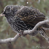 European Starling <br /> City of Bridgeton <br /> St. Louis County, Missouri <br /> 2008-02-11