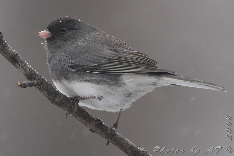 Dark-eyed Junco <br /> Bridgeton, Mo