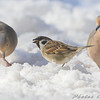 Eurasian Tree Sparrow<br /> And Mourning Doves <br /> Bridgeton, Mo