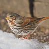 Fox Sparrow <br /> City of Bridgeton <br /> St. Louis County, Missouri <br /> 2008-02-02