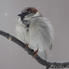House Sparrow <br /> Bridgeton, Mo
