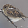 House Sparrow <br /> City of Bridgeton <br /> St. Louis County, Missouri <br /> 2008-02-11