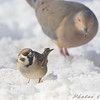 Eurasian Tree Sparrow<br /> And Mourning Dove <br /> Bridgeton, Mo