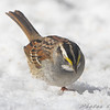White-throated Sparrow <br /> Bridgeton, Mo