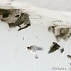 Cliff Swallows <br /> Riverlands Migratory Bird Sanctuary