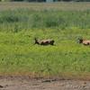 Whitetail Deer<br /> Riverlands Migratory Bird Sanctuary