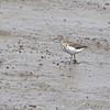 Spotted Sandpiper <br /> Riverlands Migratory Bird Sanctuary