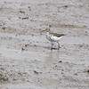 Spotted Sandpiper <br /> Riverlands Migratory Bird Sanctuary