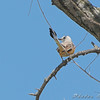 Scissor-tailed Flycatcher <br /> Hwy N and I64 St. Charles County