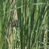 Common Gallinule <br /> (previous Common Moorhen) <br /> Creve Coeur Marsh