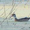Wood Duck male <br /> Creve Coeur Marsh