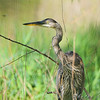 Great Blue Heron <br /> Creve Coeur Marsh
