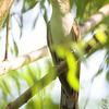 Yellow-billed Cuckoo <br /> Creve Coeur Marsh