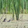 Juvenile and adult Pied-billed <br /> Grebe Creve Coeur Marsh