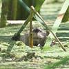 Beaver <br /> Creve Coeur Marsh