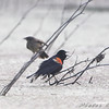 Red-winged Blackbirds <br /> Creve Coeur Marsh