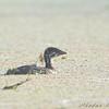 Juvenile Pied-billed <br /> Grebe Creve Coeur Marsh