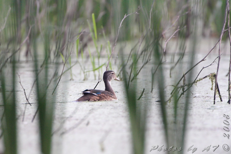 Blue-winged Teal <br /> Creve Coeur Marsh