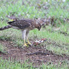 Cooper's Hawk (juvenile) <br /> City of Bridgeton <br /> St. Louis County, Missouri <br /> 2008-07-25