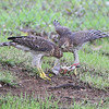 Cooper's Hawk (juveniles) <br /> City of Bridgeton <br /> St. Louis County, Missouri <br /> 2008-07-25