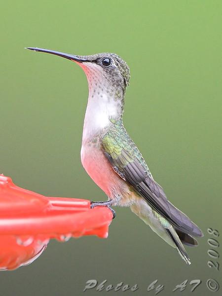 Ruby-throated Hummingbird <br /> City of Bridgeton <br /> St. Louis County, Missouri <br /> 2008-07-28
