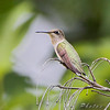 Ruby-throated Hummingbird <br /> City of Bridgeton <br /> St. Louis County, Missouri <br /> 2008-07-25