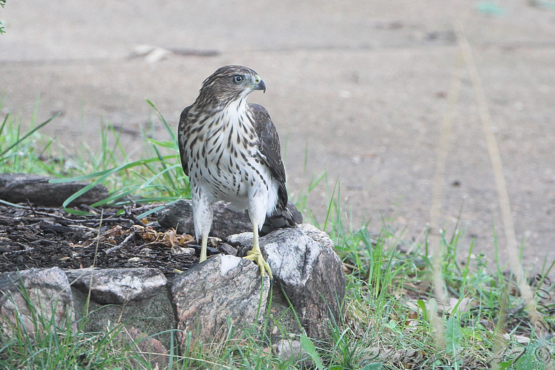 Cooper's Hawk <br /> City of Bridgeton <br /> St. Louis County, Missouri <br /> 2008-07-28