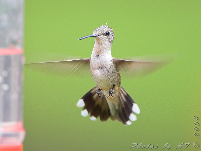 Ruby-throated Hummingbird <br /> Bridgeton, Mo.