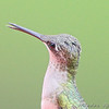 Ruby-throated Hummingbird <br /> City of Bridgeton<br /> St. Louis County, Missouri <br /> 2008-07-28