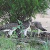 Cooper's Hawk (juveniles) <br /> City of Bridgeton <br /> St. Louis County, Missouri <br /> 2008-07-28