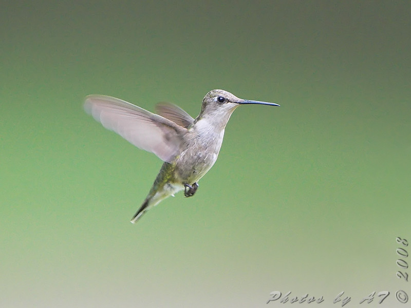 Ruby-throated Hummingbird <br /> City of Bridgeton <br /> St. Louis County, Missouri <br /> 2008-07-28