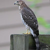 Cooper's Hawk <br /> City of Bridgeton <br /> St. Louis County, Missouri <br /> 2008-07-25