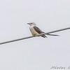 Scissor-tailed Flycatcher  <br /> Intersection of MO Bottom and Prouhet Farm roads<br /> Bridgeton, Mo.
