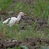 Cattle Egret <br /> Field west of Prouhet Farm Road <br /> Bridgeton, Mo.<br /> <br /> No. 191 on my Lifetime List of Bird Species <br /> Photographed in Missouri