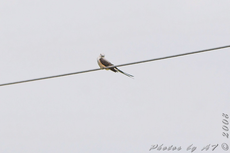 Scissor-tailed Flycatcher <br /> Intersection of MO Bottom and Prouhet Farm roads<br /> Bridgeton, Mo. <br /> <br /> No. 190 on my Lifetime List of Bird Species <br /> Photographed in Missouri