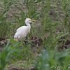 Cattle Egret <br /> Field west of Prouhet Farm Road <br /> Bridgeton, Mo.