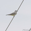 Western Kingbird <br /> Intersection of MO Bottom and Prouhet Farm Roads <br /> Bridgeton, Mo. <br /> 2008-06-07 09:11:44