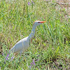 Cattle Egret <br /> Columbia Bottom CA