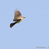 Western Kingbird <br /> Bridgeton Bottoms