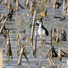 Black-necked Stilt <br /> Columbia Bottom CA