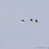 Fulvous Whistling-Ducks <br /> Huge crop, long ways off flying over pool 2. <br /> Columbia Bottom CA <br /> 2008-06-16 <br /> <br /> No. 194 on my Lifetime List of Bird Species <br /> Photographed in Missouri