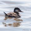 Ruddy Duck <br /> Horseshoe Lake Illinois
