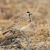 Horned Lark <br /> Maryland Heights Bottoms