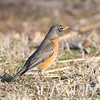 American Robin <br /> Maryland Heights Bottoms