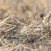 Eastern Meadowlark <br /> Maryland Heights Bottoms